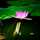 Lotus Flowers: Bud vs. Blossom